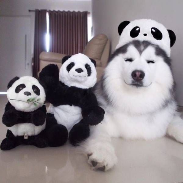 This Husky That Looks Like A Panda Is Some Kind Of Cuteception!