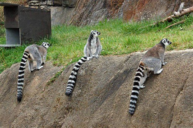 Lemurs (27 photos)