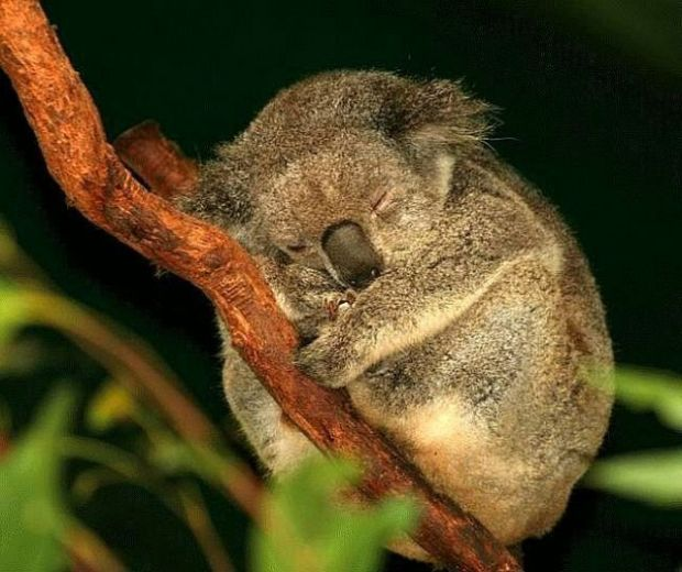 A lot of koalas have chlamydia, so they need to sleep a lot.