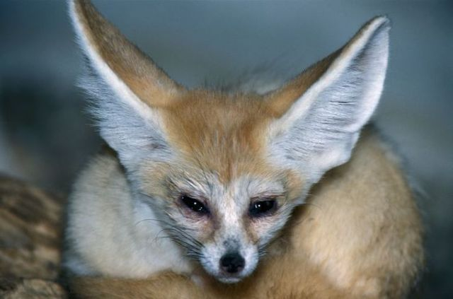 The Fennec Fox, very cute  (25 photos)