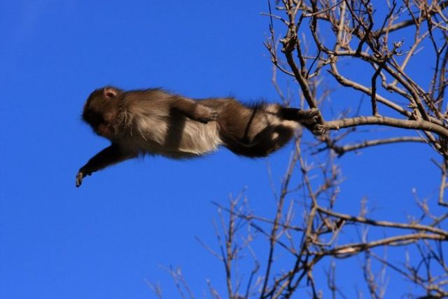 A jump of a monkey (3 photos)