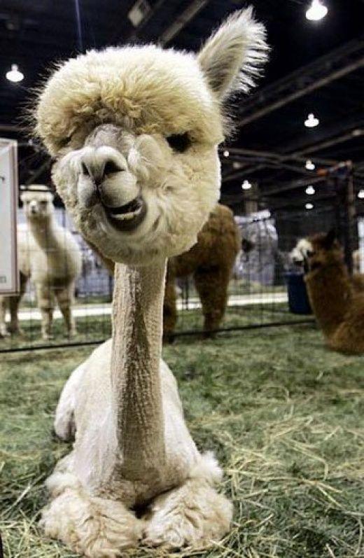 Funny Lamas  Photos