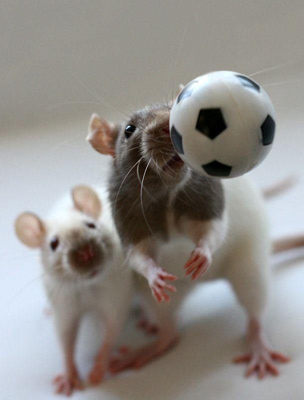 http://izismile.com/img/img2/20090205/cute_rats_20.jpg