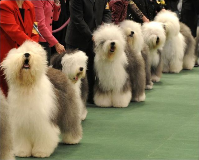 Westminster Kennel Club Dog Show (42 photos)