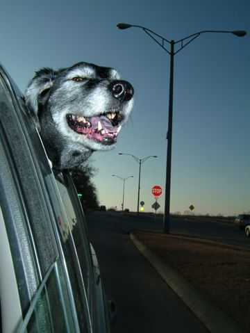 Dogs love riding in cars )) (15 photos)