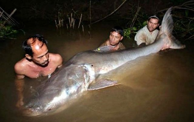 Fishing the wels catfish (18 photos)
