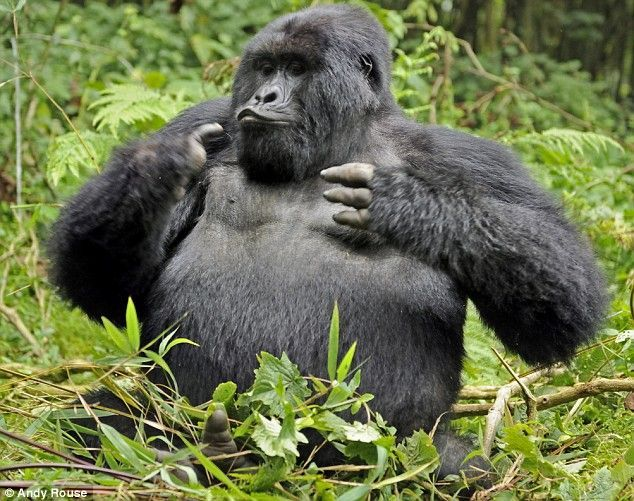 Drunk gorilla (6 photos)