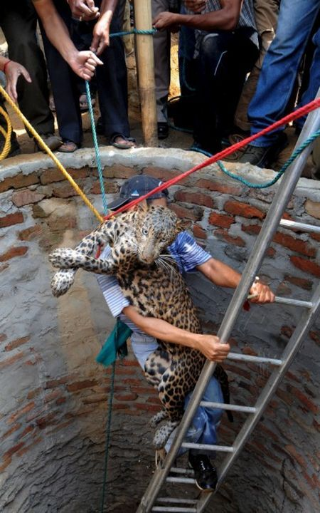 Leopard rescue (4 photos)