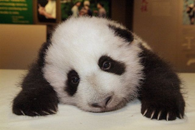 Funny Pics Of Pandas. Funny and cute pandas (39