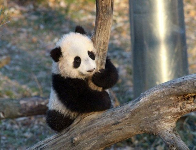 http://izismile.com/img/img2/20090624/pandas_19.jpg