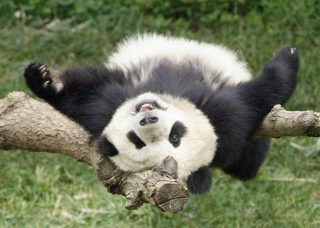http://izismile.com/img/img2/20090624/pandas_20.jpg