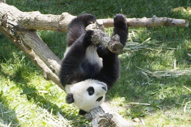 http://izismile.com/img/img2/20090624/pandas_21.jpg