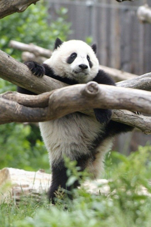 http://izismile.com/img/img2/20090624/pandas_22.jpg