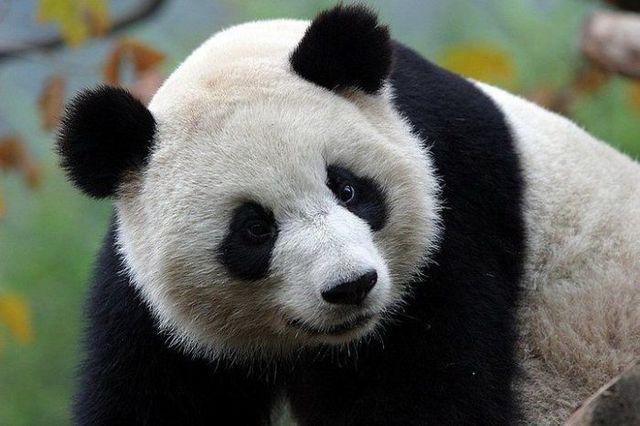 http://izismile.com/img/img2/20090624/pandas_23.jpg