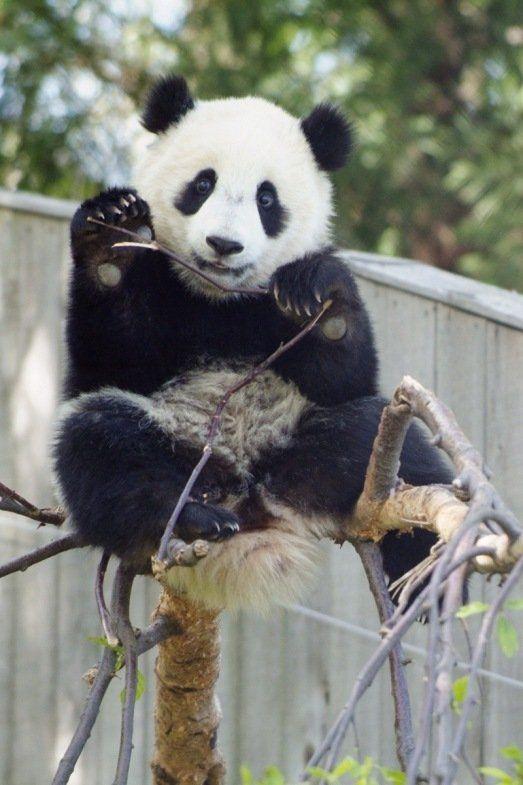 http://izismile.com/img/img2/20090624/pandas_24.jpg