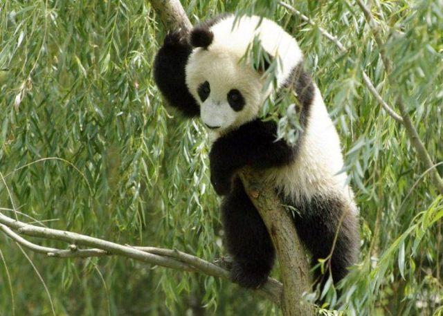 http://izismile.com/img/img2/20090624/pandas_25.jpg