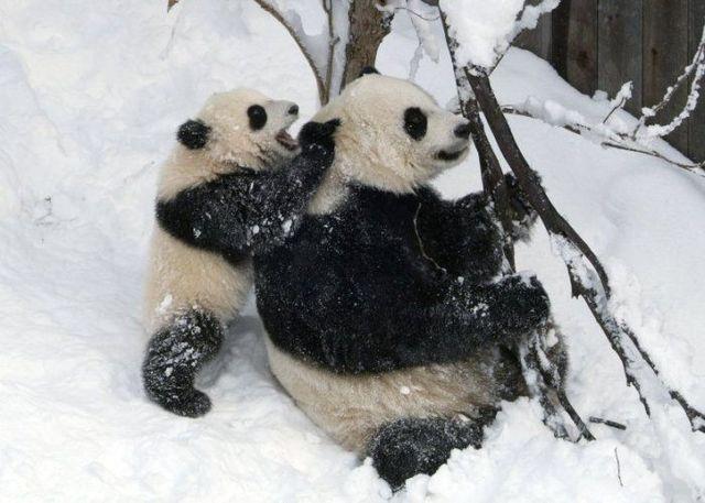 http://izismile.com/img/img2/20090624/pandas_26.jpg