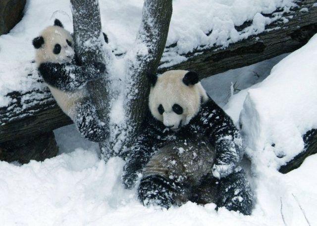 http://izismile.com/img/img2/20090624/pandas_27.jpg
