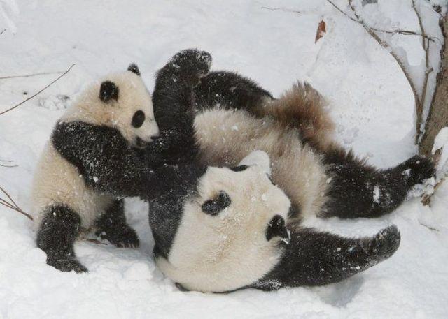 http://izismile.com/img/img2/20090624/pandas_28.jpg