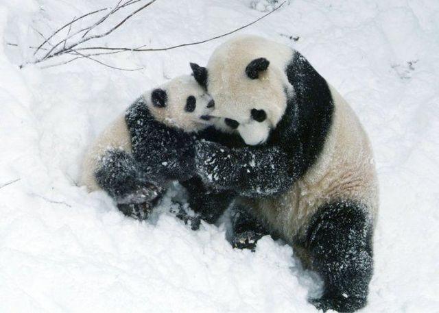 http://izismile.com/img/img2/20090624/pandas_29.jpg