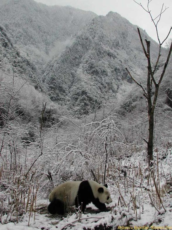 http://izismile.com/img/img2/20090624/pandas_30.jpg