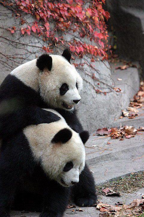 http://izismile.com/img/img2/20090624/pandas_31.jpg