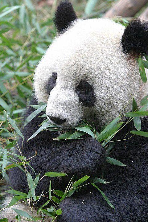 http://izismile.com/img/img2/20090624/pandas_32.jpg