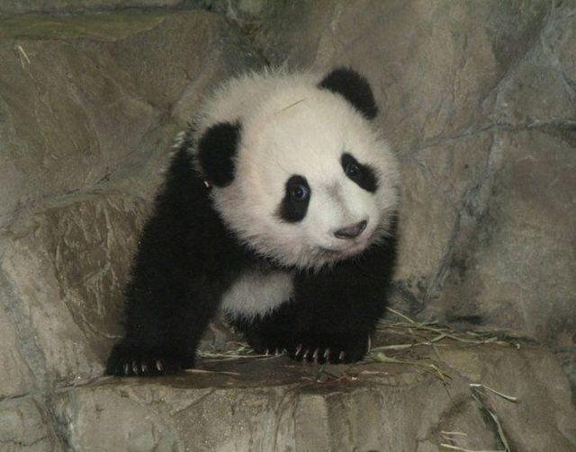 http://izismile.com/img/img2/20090624/pandas_33.jpg