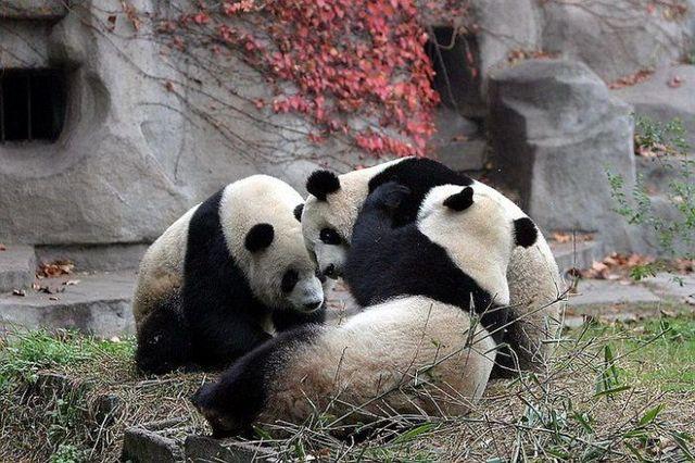 http://izismile.com/img/img2/20090624/pandas_34.jpg