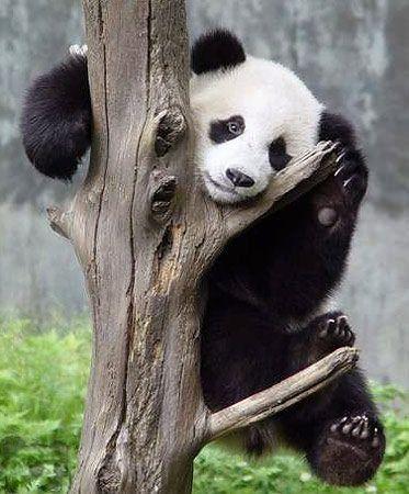 http://izismile.com/img/img2/20090624/pandas_35.jpg