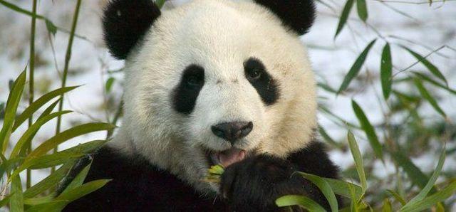 http://izismile.com/img/img2/20090624/pandas_37.jpg