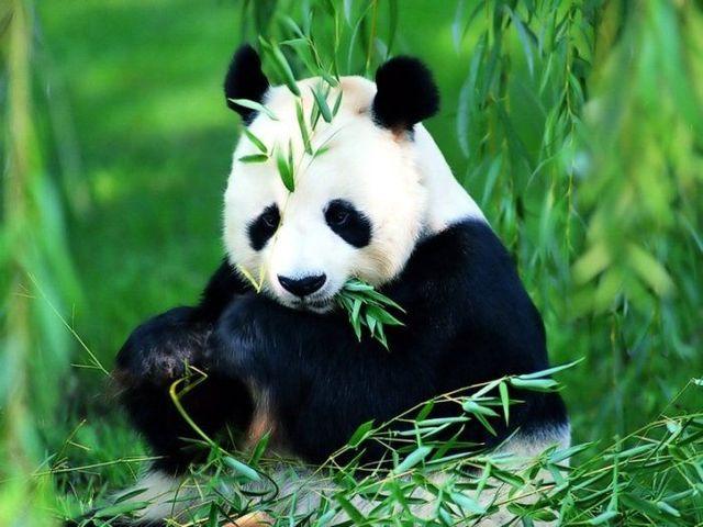 http://izismile.com/img/img2/20090624/pandas_38.jpg