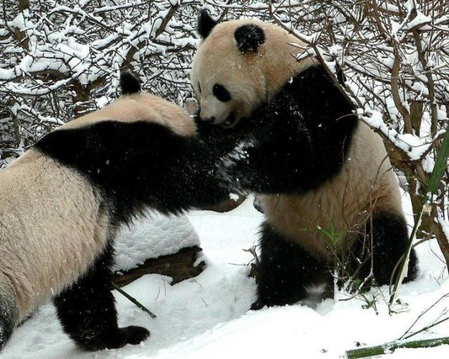 http://izismile.com/img/img2/20090624/pandas_39.jpg