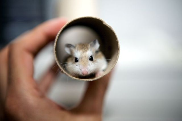 cute little hamsters photos - photo #27