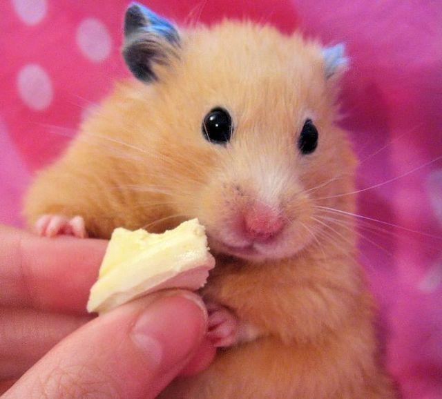 cute little hamsters photos - photo #4