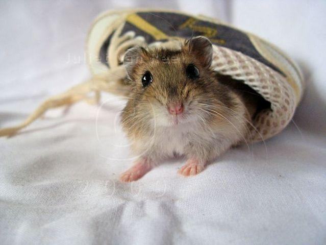 cute little hamsters photos - photo #19