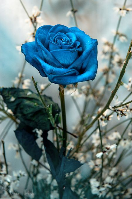 Beautiful blue roses wiresmash for Buy black and blue roses