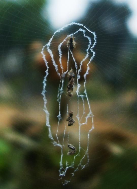 spidre webs 09 - Spiders decorating their own webs