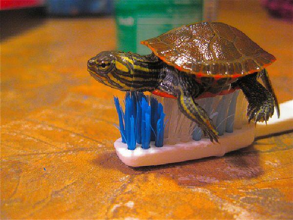 Source http izismile com img img3 20100204 cute baby turtles 15