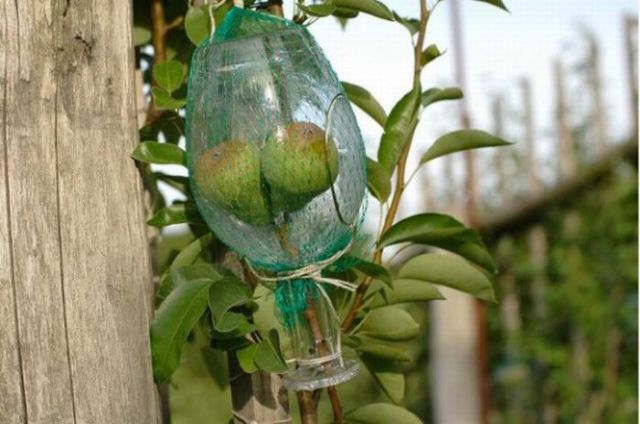 A Bottle with Large Pears Inside (9 pics)