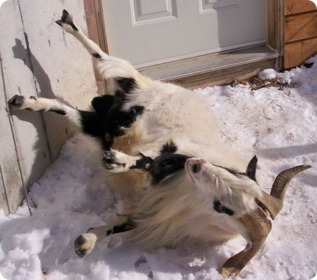 Fainting Goats (7 pics + 4 videos)