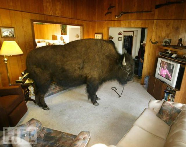 Buffalos Can Also Be Amazing House Pets