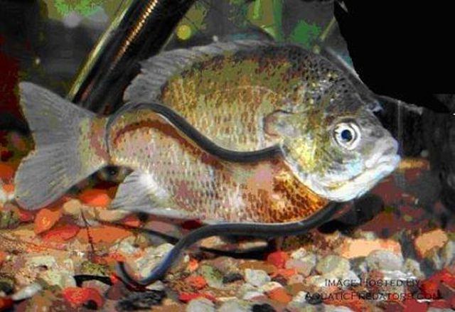 piss swimming fish