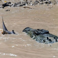 An Unusual Fight between a Crocodile and a Shark  (5 pics)