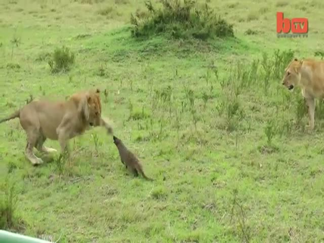 Bold and Fearless Mongoose Stands Up to Lions  (VIDEO)