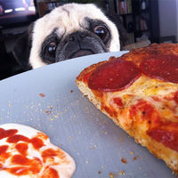 Pugs Love Food of all Types and Quantities  (21 pics)