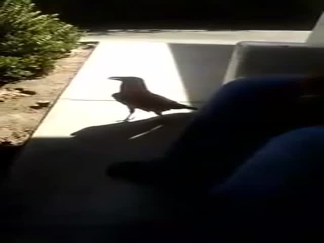 A Crow with Terrible Manners  (VIDEO)
