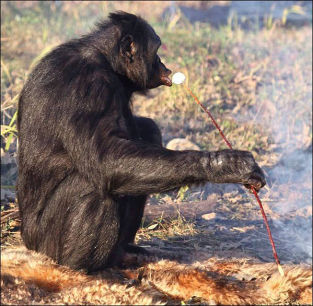 The Fire Making Monkey That Can Cook His Own Food