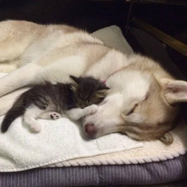 Caring Husky Nurtures an Ill Rescue Kitten Back to Health