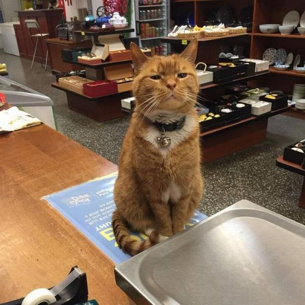 Meet Bobo The Cat Who Has Been Working In A Store For 9 Years In New York